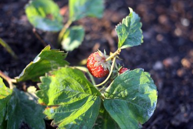 Die erste erlesene Sonnenberg-Erdbeere.