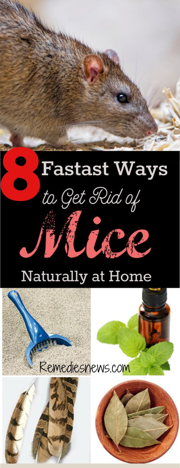 8 Fastest Ways to Get Rid of Mice Naturally at Home