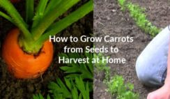 How to Grow Carrots From Seed.Learn how to grow carrots in your backyard vegetable garden from seed.Find here beginner's guide to raising an amazing crop of carrots from scraps