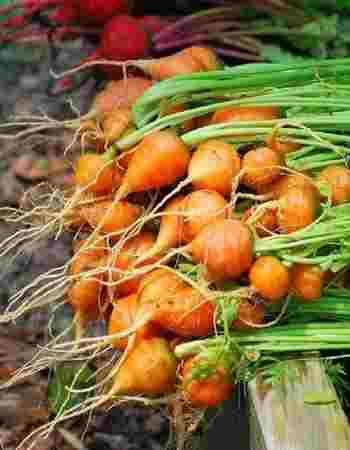 Thumberlina Carrots