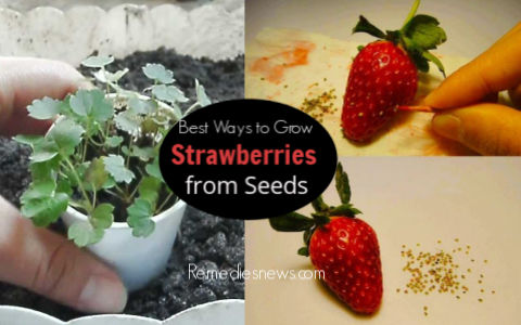 Best Ways to Grow Strawberries from Seeds in a Pot
