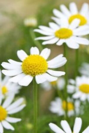 German Chamomile Essential Oils for ingrown hair