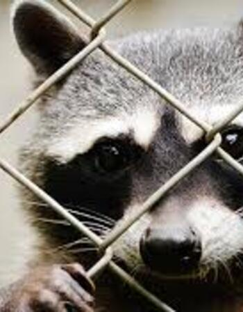 7 NATURAL REMEDIES TO GET RID OF RACCOONS AT HOME