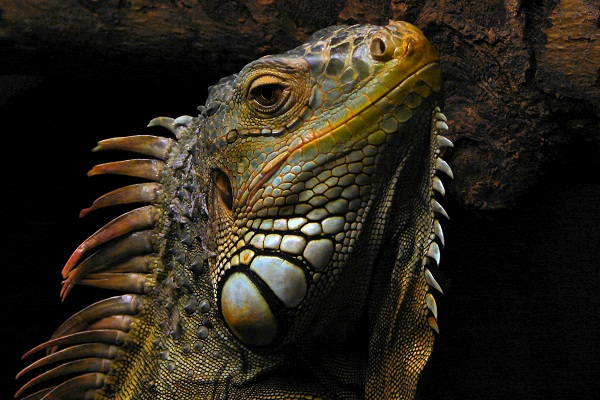 Puerto Rico to Export Delicious Iguanas Culture