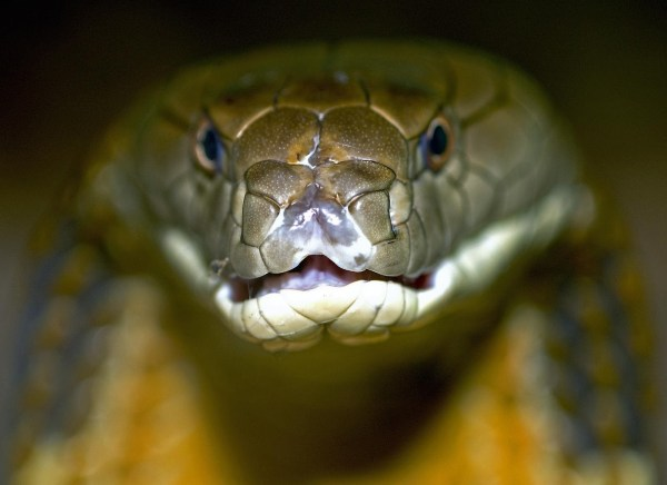 20+ Scorpion King Cobra Pictures and Ideas on Weric