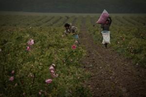 Rose crop 2012 (96) -img01