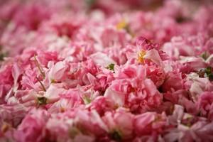 Rose crop 2012 (81)