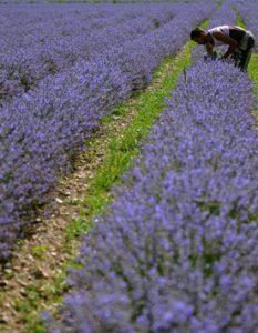 lavender-08