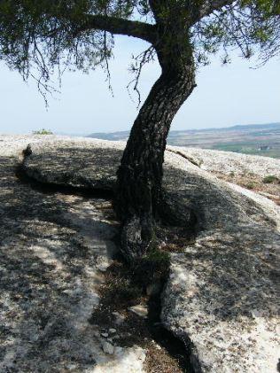 con pinos en lugares inexplicables