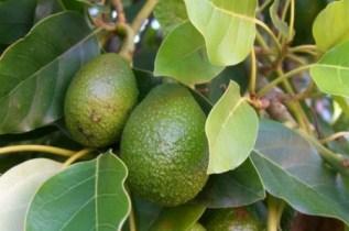 Avocado_604_0
