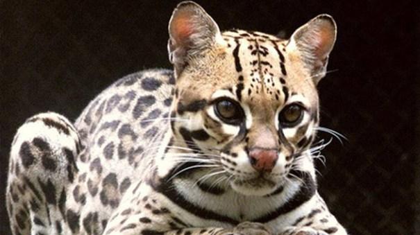 779bf71d89d7a0ab5eda70721fd5c7ba article Descubren una nueva especie de gato salvaje [Brasil]