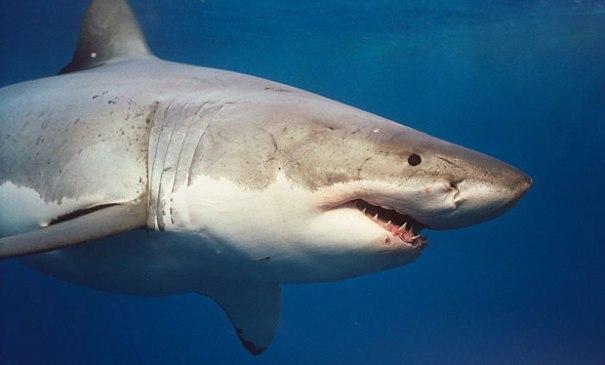1875398 Tiburones con cuenta oficial en Twitter
