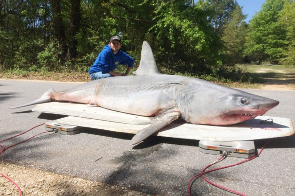 Fisherman Catch Record Breaking 805Lb Mako Shark In Florida