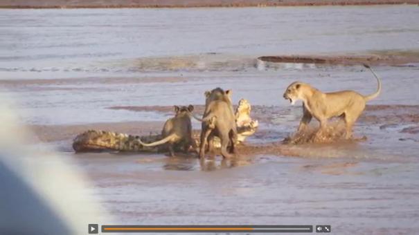 61 Round 1: cocodrilo vs 3 leonas [Video]