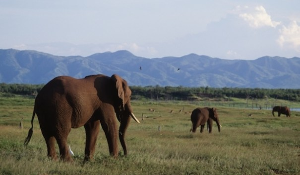 elefantes zimbabue Se salvan del ataque de elefantes al decirles ¡Lo siento!