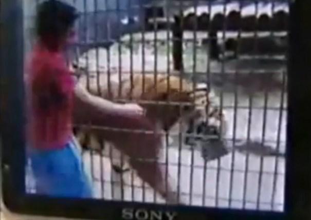 image2 Horror en Brasil: un tigre arrancó el brazo a un niño de 11 años