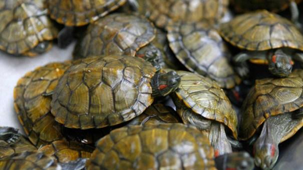 smuggler-turtles-pants-usa-canada.si