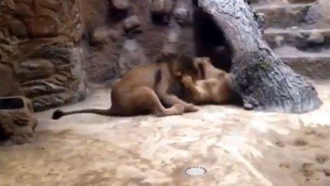 0011684922 León da terrible show en un zoológico [Video]
