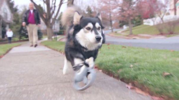 1024695 Video   Prótesis impresas en 3D ayudan a perro discapacitado