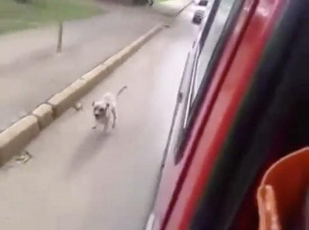 image226 Video conmovedor de perro persiguiendo ambulancia donde llevan a su dueño