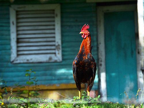 16814360786 67bc8a0c2f Las historias del campo. (El gallo y el pavo)