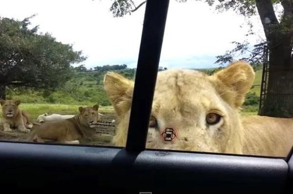 image65 Momento cuando león abre puerta de carro con los dientes