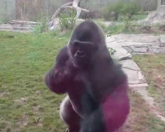 image331 Video   Gorila se quilla con chamaquita
