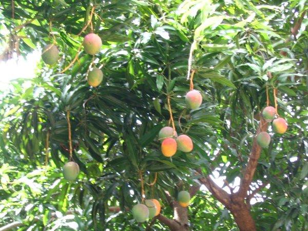 am 142924 5683077 342619 Golpes por subirse a mata de mango [RD]