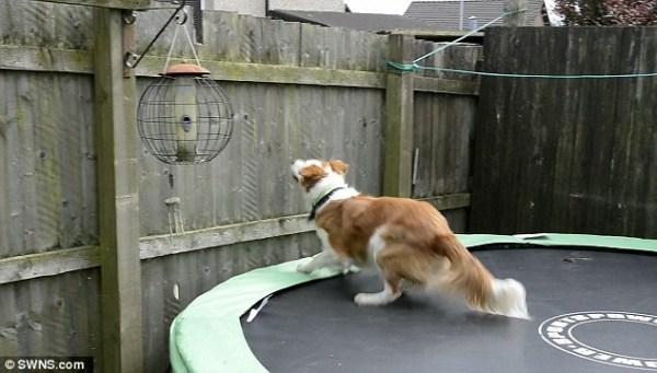 image592 Video   Perro usa trampolín para escaparse del jardín