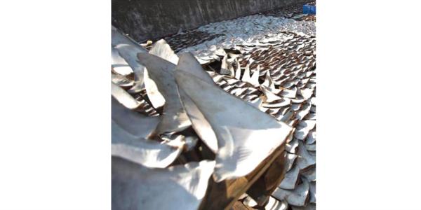 tibu Incautan mas de 100 mil aletas de tiburón en Ecuador