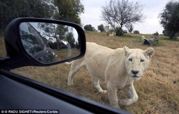 img 9318 León mata turista gringa en parque sudafricano