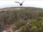 1280500 Video   Aguila vs Drone [Australia]