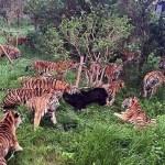 oso-desmembrado-tigres
