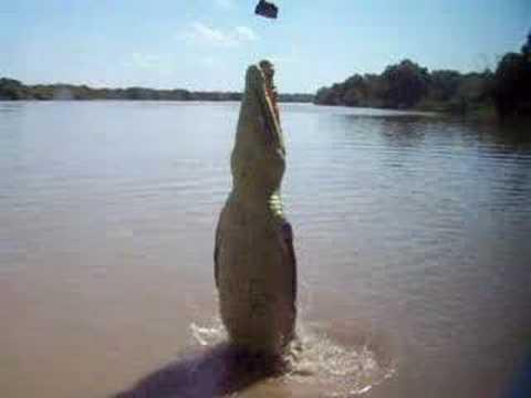 coco VIDEO –El salto de un cocodrilo en Australia