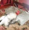 gallo durmiendo