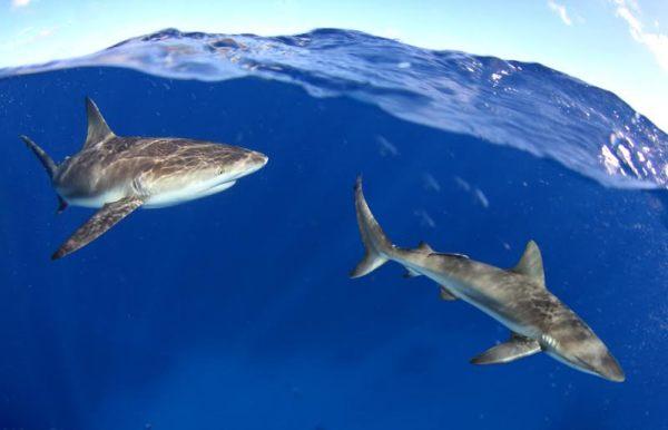 tiburones Tiburones de República Dominicana con el fotógrafo Eladio Fernandez