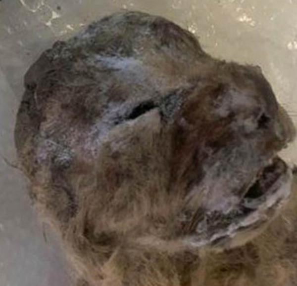 descubren-dos-leones-cavernario-en-siberia-foto