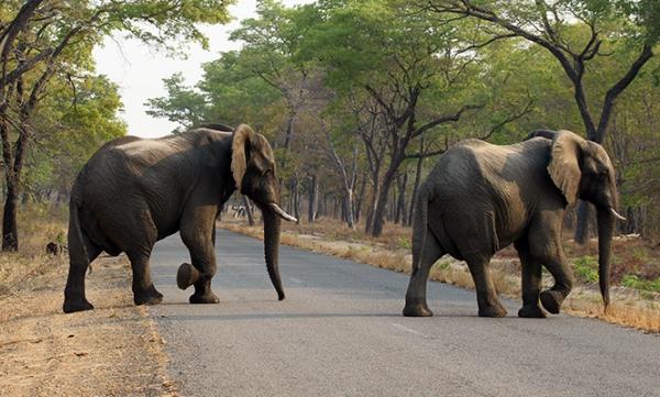 elefantes Matan con cianuro a 26 elefantes en Zimbabue