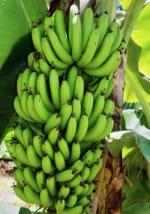 importaran un lote de platanos para evitar precios locos Importarán un lote de plátanos para evitar precios locos
