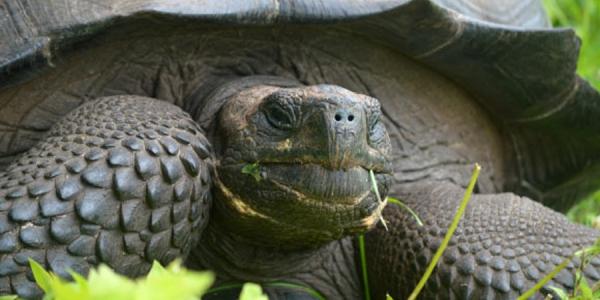 tortuga gigante Una nueva especie de tortuga gigante