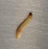 gusanito Más sobre el caso del pene con gusanos:Expertos aclaran