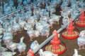 i0000vwob 4fpsgjpg Dique habrá suficiente pollo en Navidad (RD)