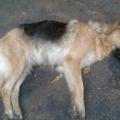 perro Envenenamiento masivo de mascotas pudo ser una retaliación