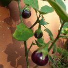brere Vegetales más fáciles de cultivar en tu casa