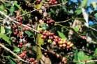 cafe-de-rd-logra-buen-precio-internacional