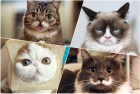 collage gatos famosos Chequea los 15 gatos más famosos de Internet