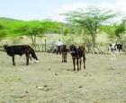 vacas Piden al Gobierno no dejar morir de hambre a las vacas (RD)
