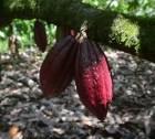 Dominicano se la busca con desechos del cacao