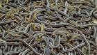 serpientes culebras Unas 75.000 culebras despiertan tras 8 meses pa hacer chucuchá (Canadá)