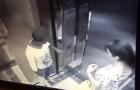 sarasota Video capta asalto en ascensor de torre en RD